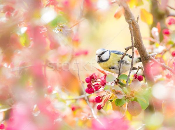 Blue tit bird in flowering apple tree Stock photo © manfredxy