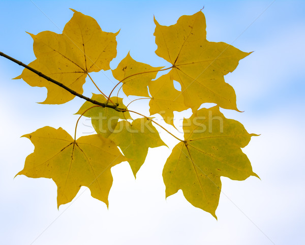 Twig with yellow maple leaves Stock photo © manfredxy