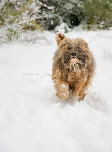 Tibetan terrier dog running in the snow Stock photo © manfredxy