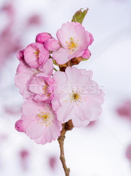 Gyönyörű rózsaszín cseresznyevirágzás közelkép virág fa Stock fotó © manfredxy