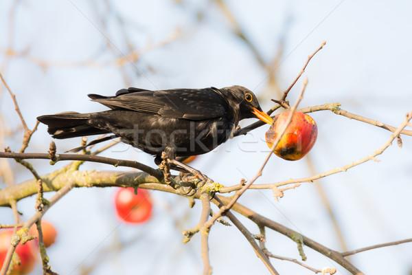 Mirlo comer manzano manzana naturaleza pluma Foto stock © manfredxy