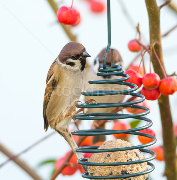 Tree sparrows sitting at a bird feeder Stock photo © manfredxy