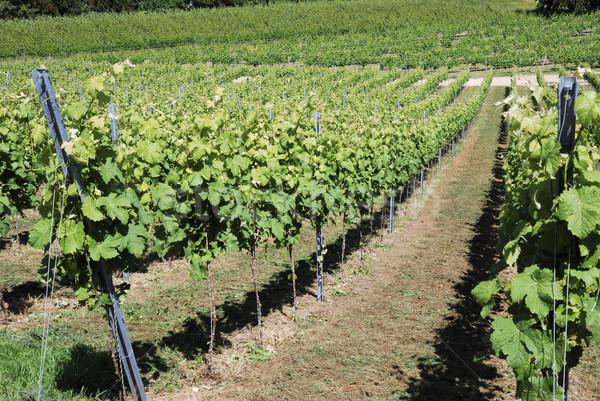 Growing vine Stock photo © manfredxy
