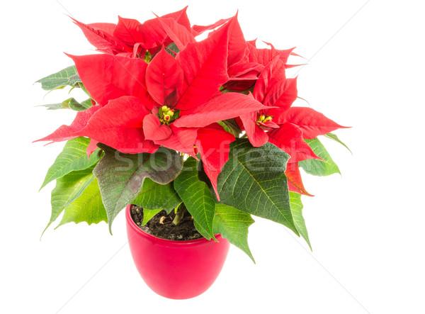 Isolated poinsettia flower Stock photo © manfredxy