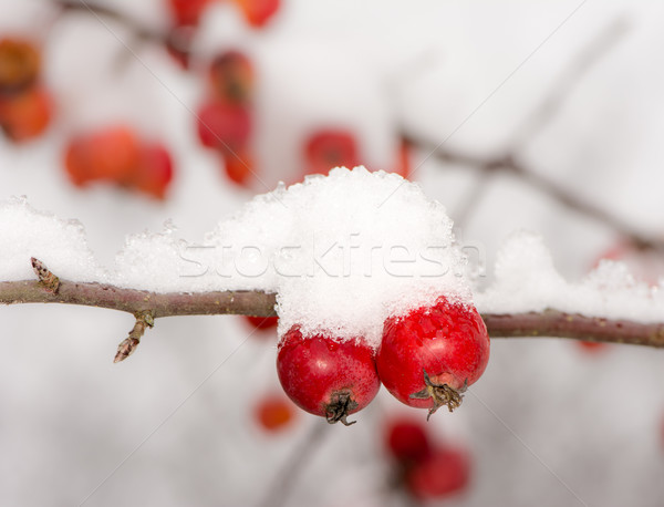 Ripe apples covered with snow Stock photo © manfredxy