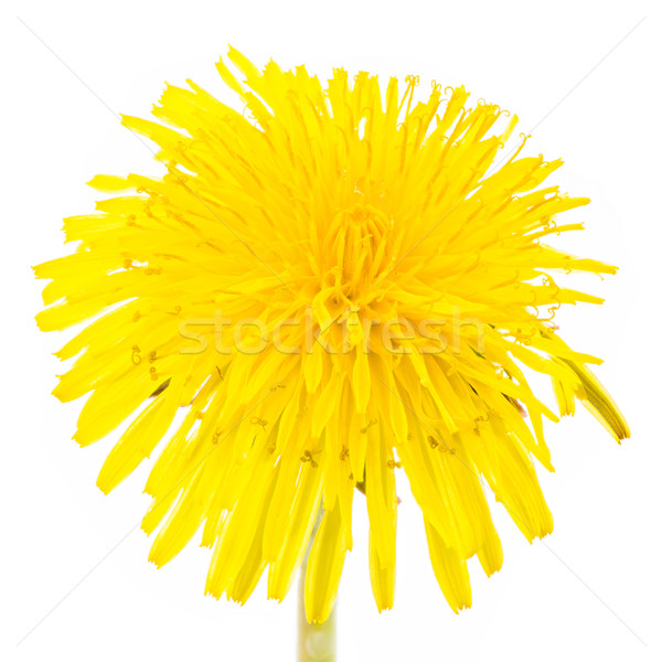 Isolated yellow dandelion flower blossom Stock photo © manfredxy