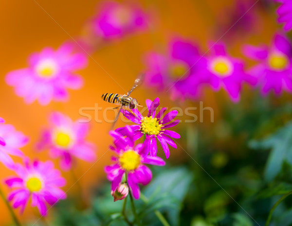 Hoverfly flying to a magenta daisy flower Stock photo © manfredxy