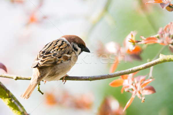 Eurasian Tree Sparrow sitting on a twig Stock photo © manfredxy