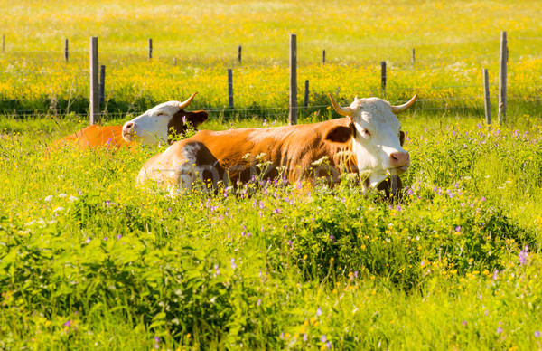 Organic farming wiht happy cows Stock photo © manfredxy