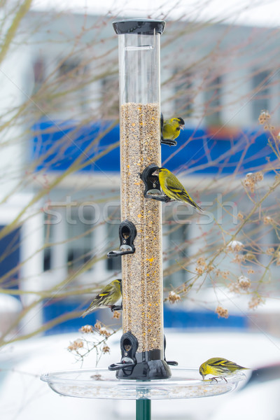 Stock photo: Swarm of eurasian siskin birds on a bird feeder