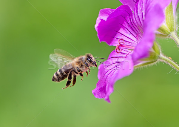 Bee flying to a purple geranium flower blossom Stock photo © manfredxy