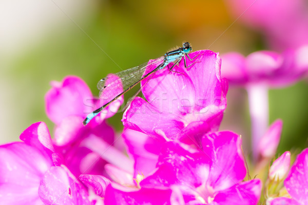 Bluetail damselfly on a pink flower Stock photo © manfredxy