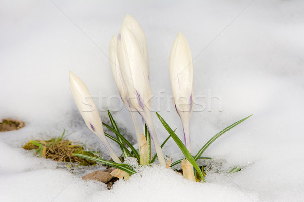 White crocus flowers in the snow Stock photo © manfredxy