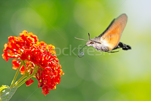 Beija-flor voador flor laranja natureza formiga Foto stock © manfredxy
