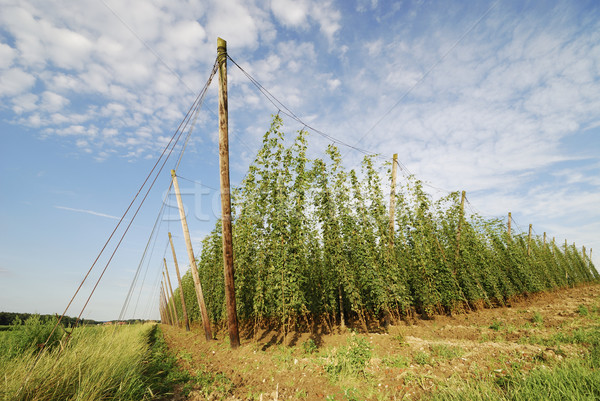 hop cultivation Stock photo © manfredxy