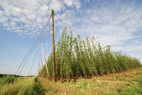 Hop agricola panorama campo giardino agricoltura Foto d'archivio © manfredxy