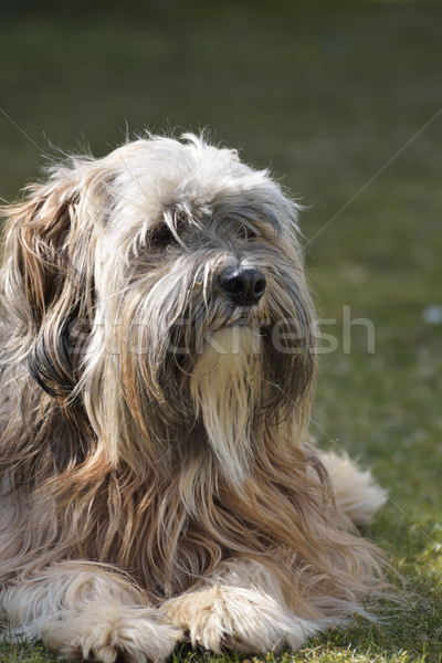 Tibetan Terrier Dog Stock photo © manfredxy