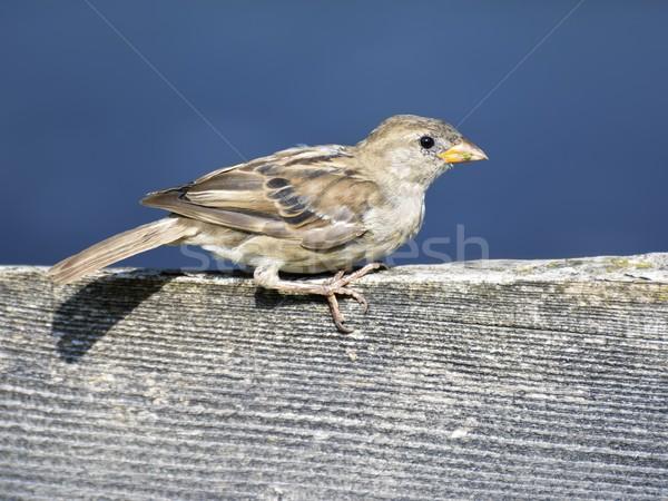 воробей птица дома сидят забор Сток-фото © manfredxy