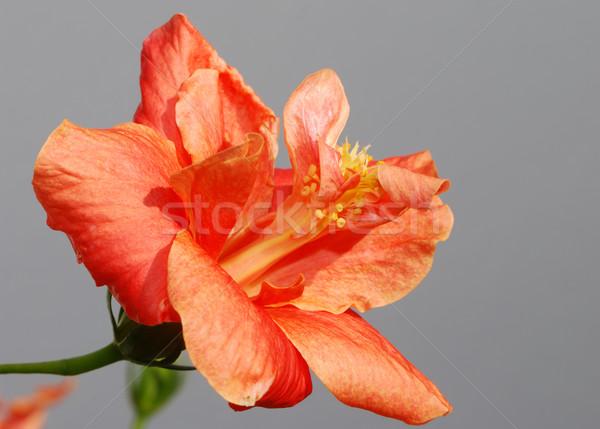 Stockfoto: Oranje · hibiscus · bloesem · bloem · tropische · macro