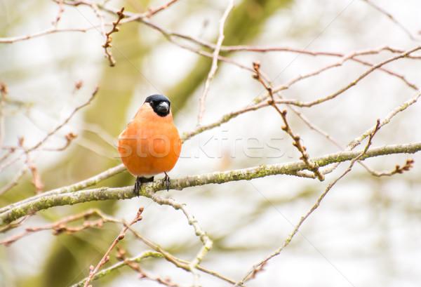 Male Eurasian Bullfinch Stock photo © manfredxy