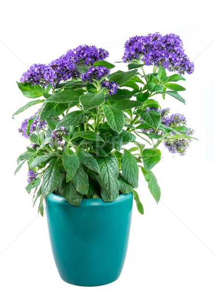 Isolated potted purpled garden heliotrope flower Stock photo © manfredxy