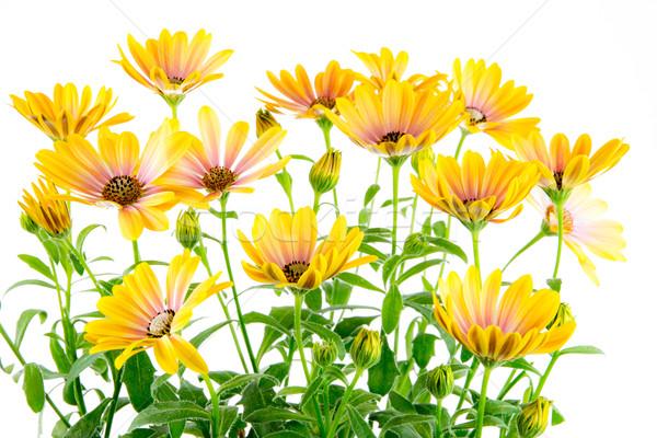 Odizolowany żółty kwiat kwiaty Zdjęcia stock © manfredxy