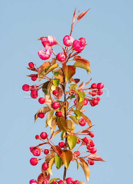 çiçekli elma ağacı pembe bahar zaman Stok fotoğraf © manfredxy
