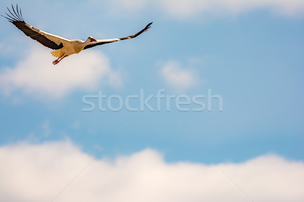Stock photo: Flying white stork with blue sky