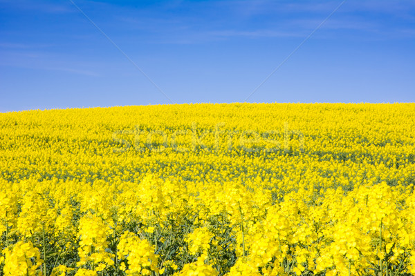 Yellow rape field and blue sky Stock photo © manfredxy