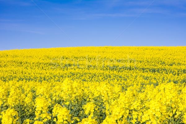 Stock photo: Yellow rape field and blue sky