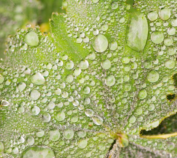 Gocce di pioggia foglia verde acqua sfondo goccia d'acqua gocce Foto d'archivio © manfredxy