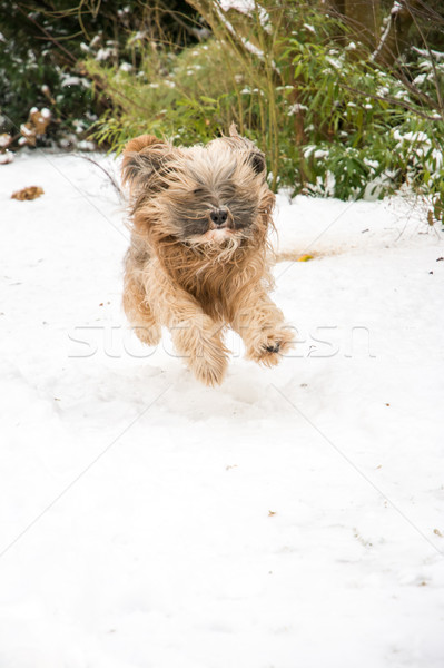 Tibetan terrier dog running and jumping in the snow. Stock photo © manfredxy