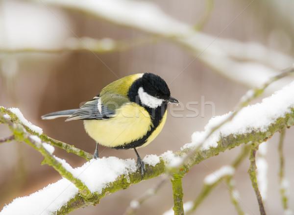 Тит птица сидят снега покрытый Сток-фото © manfredxy
