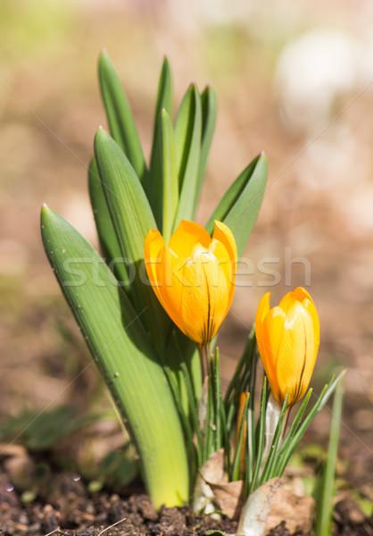 Amarelo açafrão flores primavera Foto stock © manfredxy
