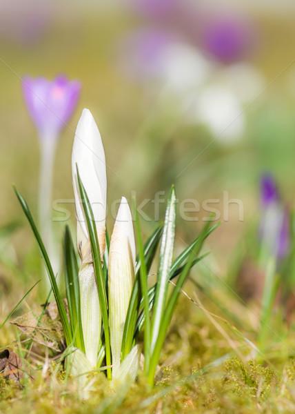 Beyaz çiğdem çiçek bahar seçici odak Stok fotoğraf © manfredxy