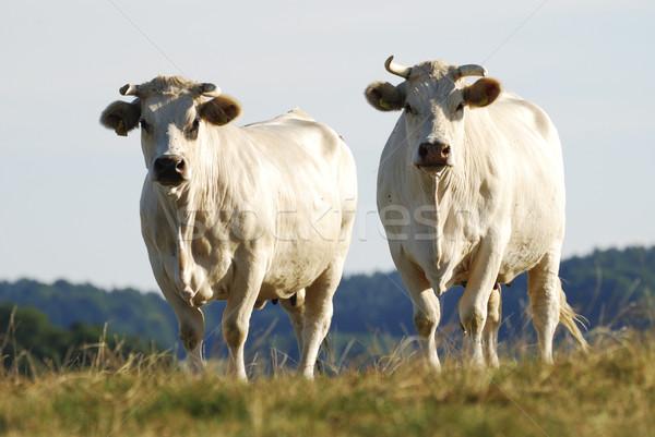 Cattle Herd Stock photo © manfredxy