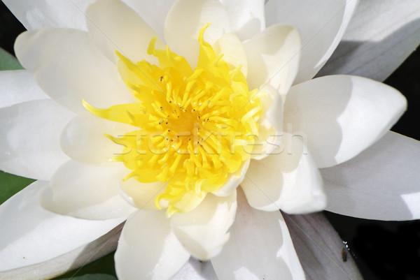 Lotus symétrie symétrique Lily fleur Photo stock © manfredxy
