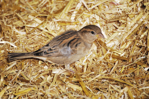 Casa pardal pássaro sessão palha natureza Foto stock © manfredxy