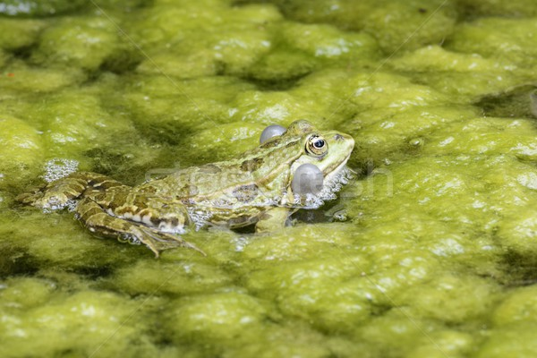 Croaking Frog Stock photo © manfredxy