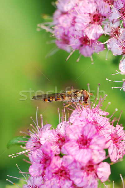 Hover fly Stock photo © manfredxy