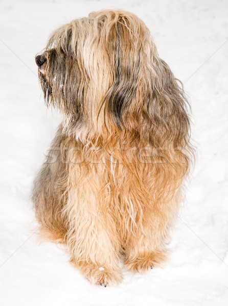 Tibetan terrier dog sitting in the snow Stock photo © manfredxy