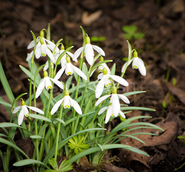Bunch of snowdrop flowers Stock photo © manfredxy