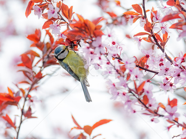 Blue tit bird in a flowering plum tree Stock photo © manfredxy