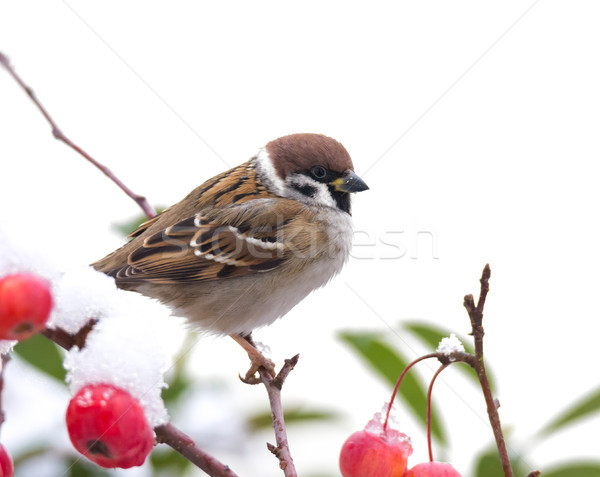 Tree sparrow sitting in a snow covered apple tree Stock photo © manfredxy