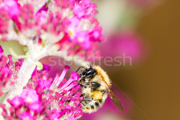Honeybe at purple buddleia flower Stock photo © manfredxy