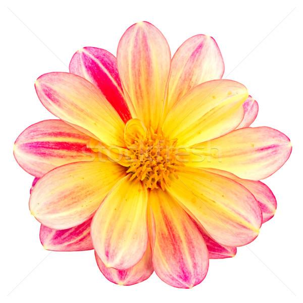 Isolated dahlia flower blossom Stock photo © manfredxy