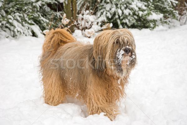 терьер снега Постоянный саду портрет животного Сток-фото © manfredxy