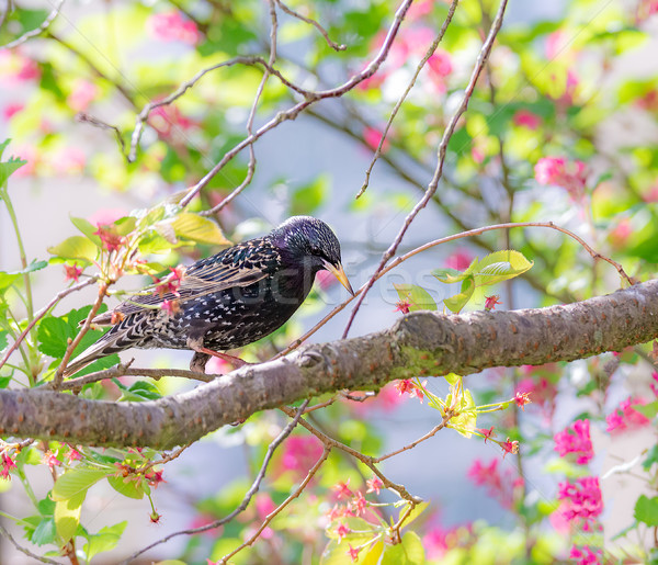 Starling bird sitting on a tree branch Stock photo © manfredxy