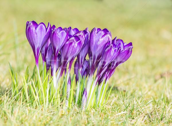 Kikerics virágok csoport lila kert virág Stock fotó © manfredxy