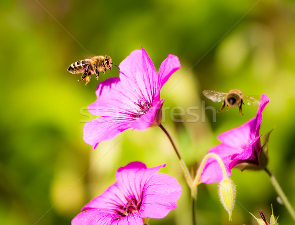 Bees flying to geranium flower blossoms Stock photo © manfredxy
